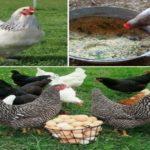 Vitaminas Para Gallinas Ponedoras, Pollos de engorde, Aves de corral
