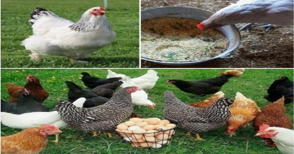 vitaminas para gallinas ponedoras